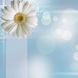 Camomile flower on blue background Royalty Free Stock Images
