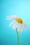 Camomile flower on blue background Stock Photo