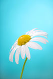Camomile flower on blue background Stock Photography