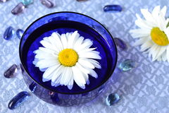 Camomile flower in a blue bowl Royalty Free Stock Images