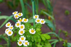 Camomile flower Stock Image