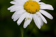 Camomile flower. Field. Royalty Free Stock Photo