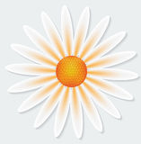 Camomile flower on gray background. Vector illustration Stock Photos