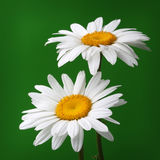 Camomile flower on green Stock Photos