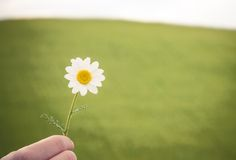 Camomile flower in hand Stock Images