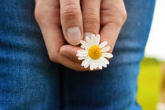Camomile flower in hands. Close-up view Stock Image