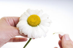 Camomile flower in hands isolated Stock Photo