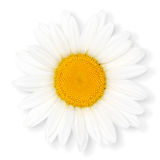 Camomile flower. Royalty Free Stock Photos