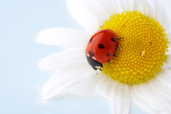 Camomile flower with ladybug Stock Image