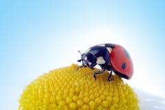 Camomile flower with ladybug Royalty Free Stock Photos