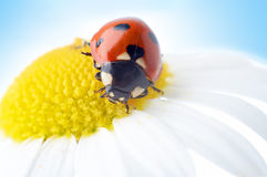 Camomile flower with ladybug Royalty Free Stock Images