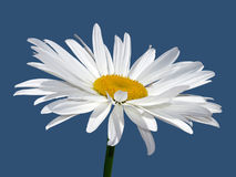 Camomile flower macro Stock Photos