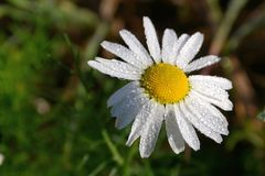 Camomile flower with morning dew Royalty Free Stock Photo
