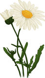 White Camomile flower. Oxeye daisy. Vector Royalty Free Stock Photo