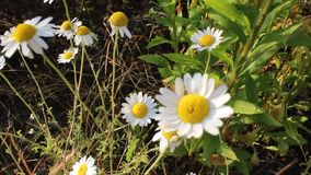 Camomile. The flower is shot in solar farm stock video footage