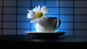 A camomile flower with water drops in a teacup rotates on a blue background. Narrow zone of sharpness. Hitchcock effect.