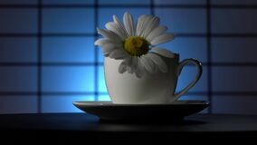 A camomile flower with water drops in a teacup rotates on a blue background. Narrow zone of sharpness.