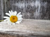 Camomile flower on the wooden background, close up view, selective focus Stock Images