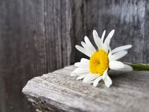 Camomile flower on the wooden background, close up view, selective focus Stock Photo