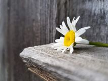 Camomile flower on the wooden background, close up view, selective focus Royalty Free Stock Photos