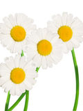 Camomile flowers. Isolated on the white Stock Images