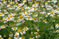 Camomile flowers. Wild flowers in the field royalty free stock photo