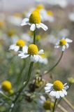 Camomile flowers. Wild camomile flowers in the fild Royalty Free Stock Image