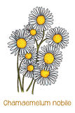 Camomile flowers. Abstract   illustration of camomile flowers Royalty Free Stock Image
