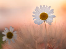 Camomile Flowers Royalty Free Stock Image