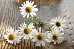 Camomile flowers Stock Photography