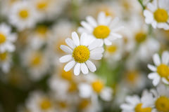 Camomile Flowers Stock Images