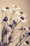 Camomile flowers Stock Image