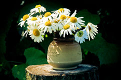 Camomile flowers. In a clay vase stand on hemp Stock Photos