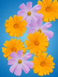 Camomile flowers Royalty Free Stock Photos