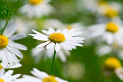 Free Camomile Flowers Royalty Free Stock Photo - 7814175