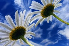 Camomile flowers on background of blue sky Stock Images