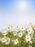 Camomile flowers and blue sky with clouds, floral background wit Royalty Free Stock Images