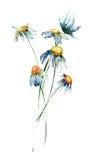 Camomile flowers Stock Photos