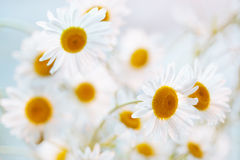 Camomile flowers Royalty Free Stock Images