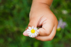 Camomile flowers in child hand Royalty Free Stock Photography