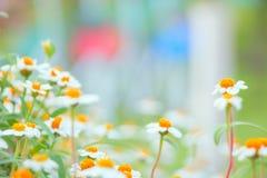 Camomile flowers close-up shallow DOF Stock Photo