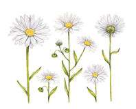 Camomile flowers collection royalty free illustration