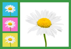 Camomile flowers composition. With colorful frames Royalty Free Stock Images