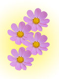 Camomile flowers decorative Royalty Free Stock Images