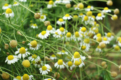 Camomile flowers of different age. Some even to old Royalty Free Stock Photography