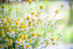 Camomile flowers on a field Stock Image