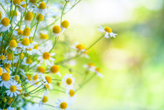 Camomile flowers on a field Royalty Free Stock Photography