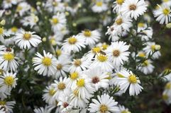 Camomile flowers in the field. White, blooming, freen, petal, daisy, chamomile royalty free stock image