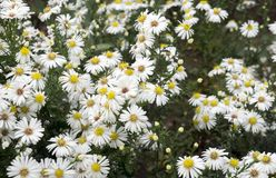 Camomile flowers in the field. White, blooming, freen, petal, daisy, chamomile royalty free stock photo