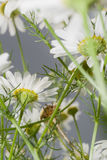 Camomile. Flowers in field of closeup Royalty Free Stock Photo